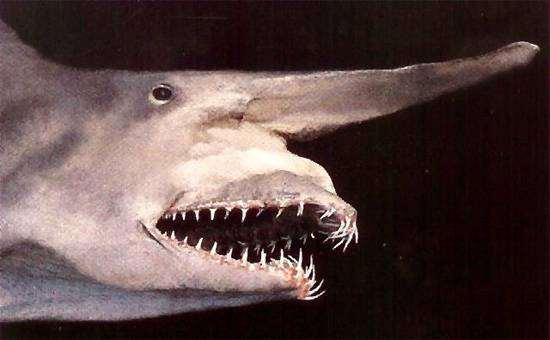 Акула-гоблин (Mitsukurina owstoni), фото рыбы картинка