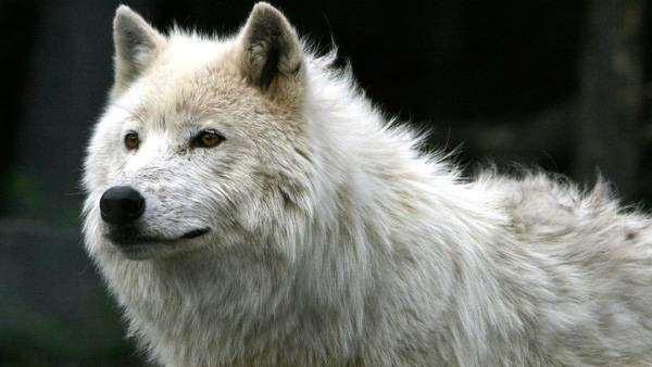 Полярный волк (Canis lupus tundrarum), фото хищные животные фотография