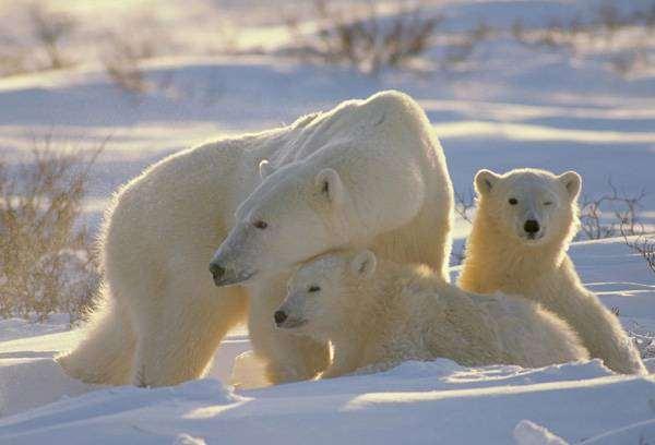 Полярный медведь (Ursus maritimus), фото животные картинка