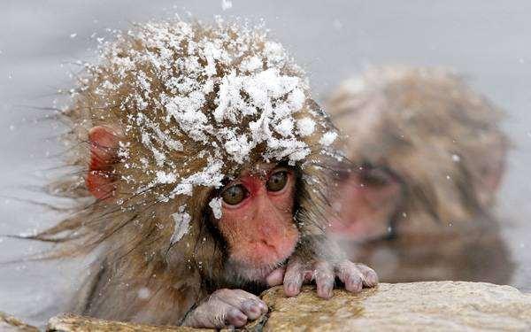 Японский макак (Macaca fuscata), фото приматы фотография