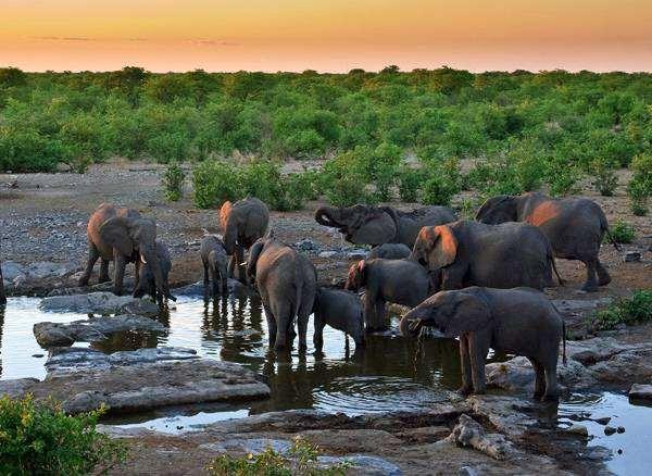 Стадо слонов на водопое, фото дикие животные картинка