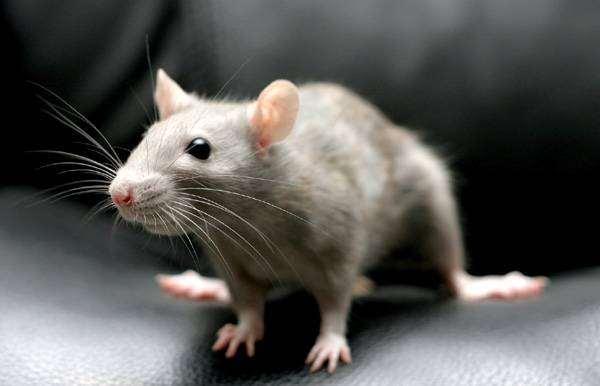 Декоративная серая крыса, фото картинка грызуна