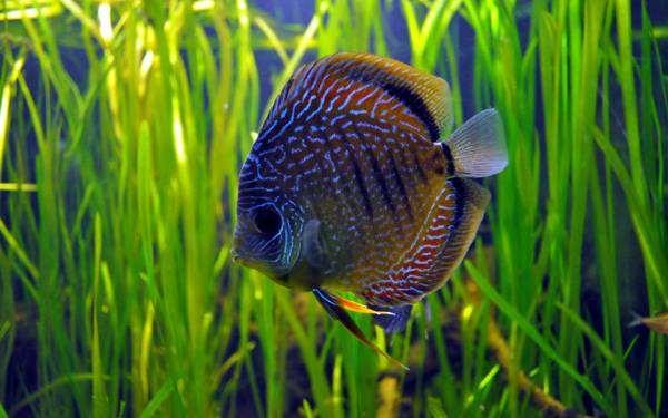 Дискус, фото рыбы фотография цихлиды