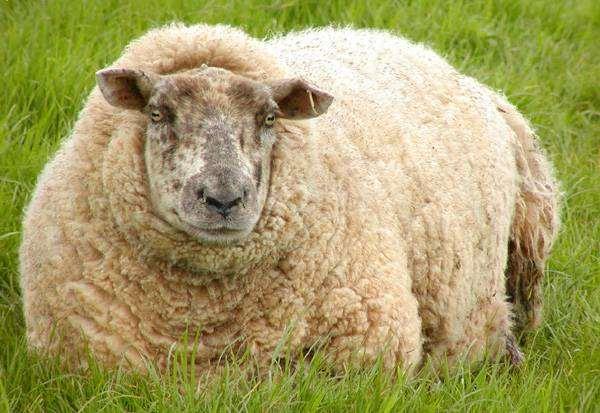 Овца, лежащая на траве, фото парнокопытные животные фотография