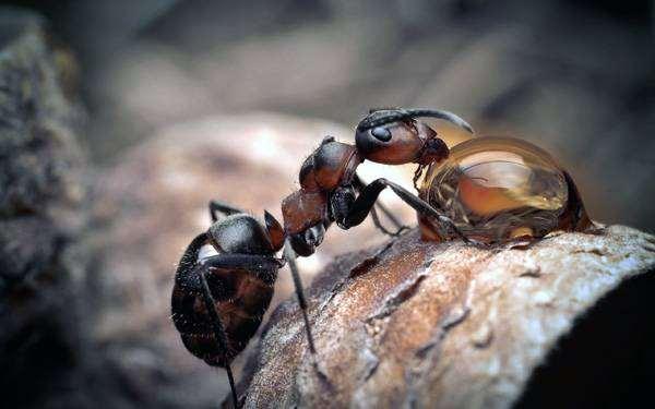 Муравей пьет воду, фото насекомые фотография