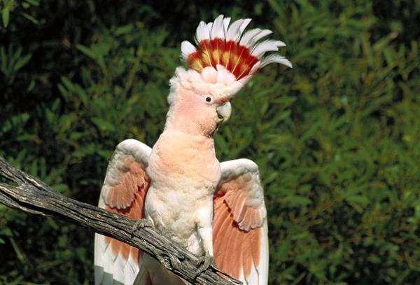 Розовый какаду (Eolophus roseicapilla, Eolophus roseicapillus), фото попугаи птицы фотография