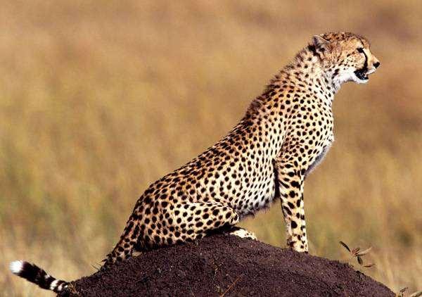 Jubatus фото хищные животные фотография