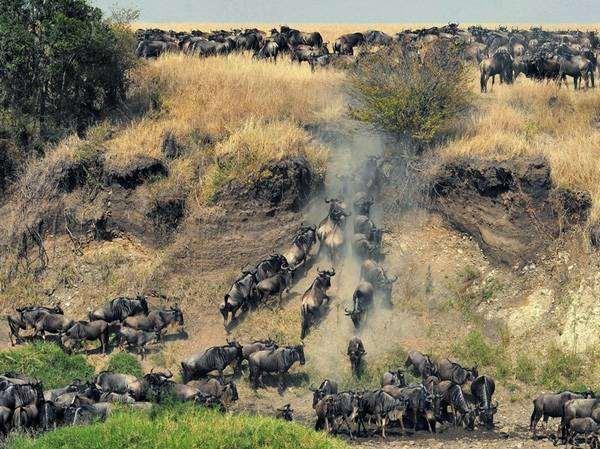 Стадо Антилопы гну (Connochaetes), фото копытные фотография