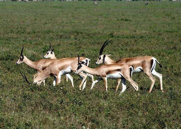 Газель Томпсона (Gazella thomsoni), фото парнокопытные животные фотография