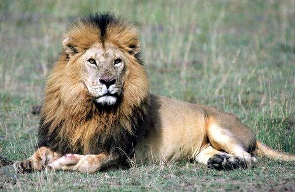 Лежащий лев (Panthera leo), фото хищные животные фотография