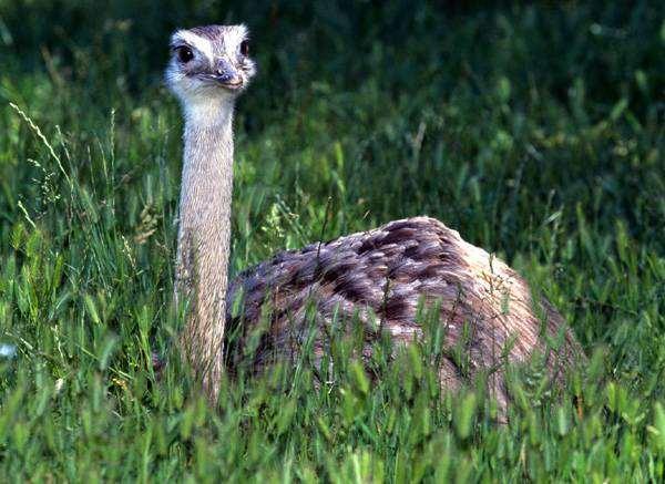 Страус (Struthio camelus), фото птицы фотография