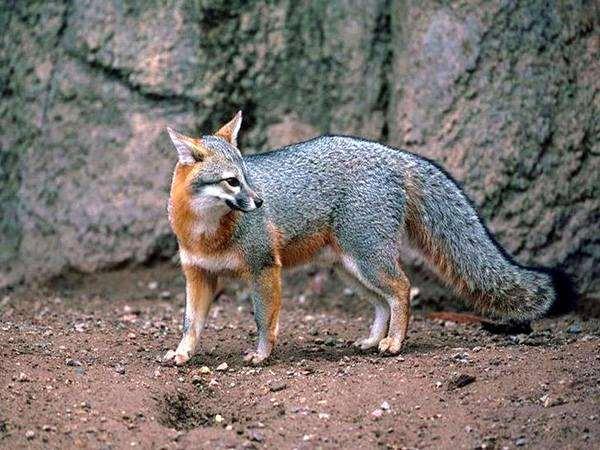 Серая лиса (Urocyon cinereoargenteus), фото дикие животные фотография