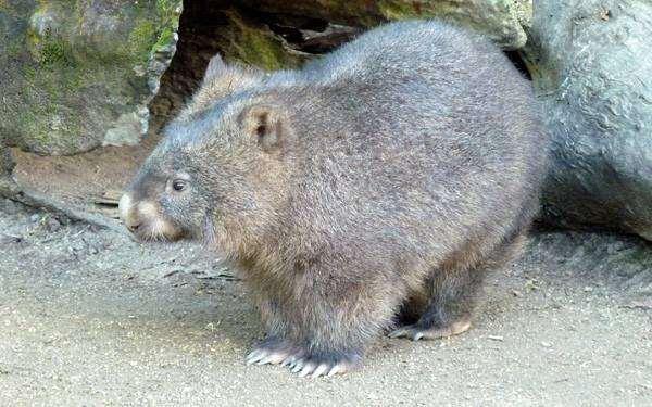 Вомбат (Vombatus), фото фотография