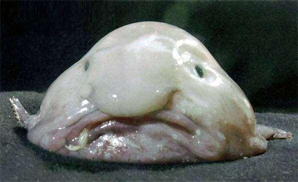 Рыба-капля (Psychrolutes marcidus), фото рыбы картинка фотография