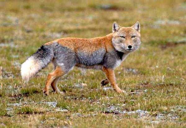Тибетская лиса (Vulpes ferrilata), фото хищники фотография