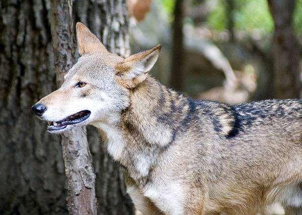 Рыжий волк (Canis rufus), фото хищные животные фотография