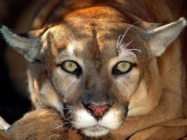 Самые редкие животные кошки планеты