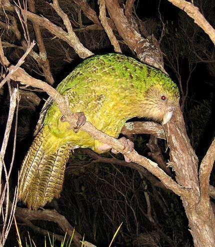 Нелетающий попугай какапо (Strigops habroptilus), фото птицы фотография