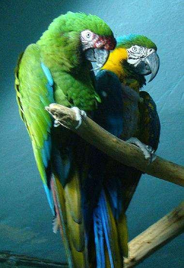 Солдатский и сине-желтый ара (Ara ararauna), фото вопросы о попугаях фотография птицы