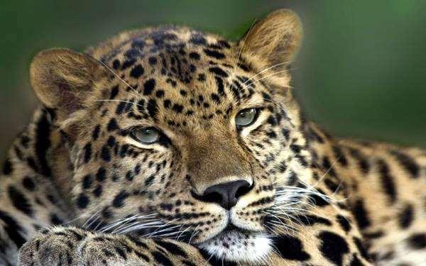 Дальневосточный леопард (Panthera pardus orientalis), фото животные картинка