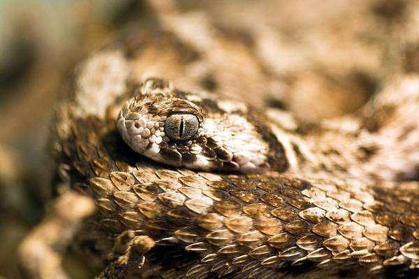 Песчаная эфа (Echis carinatus), фото ядовитые змеи фотография