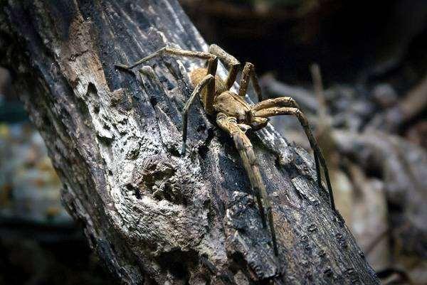 Бразильский странствующий паук (Phoneutria), фото членистоногие фотография