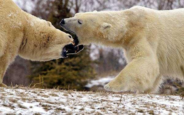 Белый медведь (Ursus maritimus), фото хищники картинка