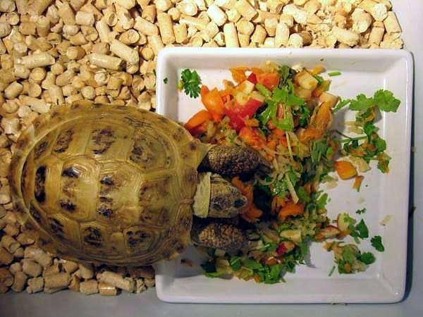 Кормление сухопутных черепахи в домашних условиях