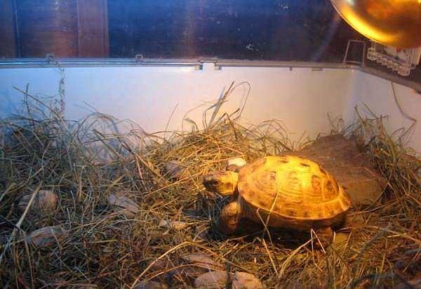 Сухопутная черепаха в террариуме, фото содержание черепах фотография