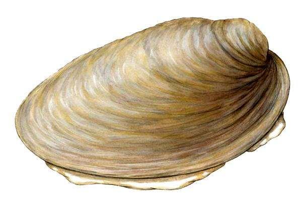 Неопилина (Neopilina), фото головоногий моллюск картинка рисунок