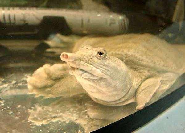 Дальневосточная черепаха, или китайский трионикс (Pelodiscus sinensis), фото вопросы о черепахах фотография