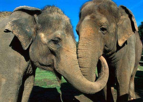 Азиатский слон (Elephas maximus), фото животные фотография