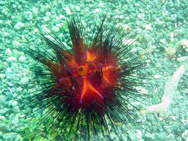 Красноиглый морской еж (Astropyga radiata), фото иглокожие фотография