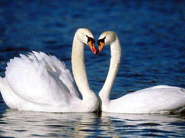 Пара лебедей, птицы фото фотография