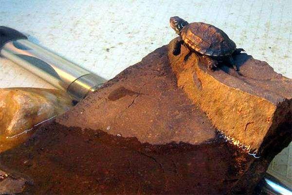 Трехкилевая китайская черепаха (Chinemys reevesi), фото содержание черепах фотография