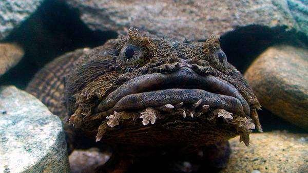 Рыба-жаба (Opsanus tau), фото рыбы фотография
