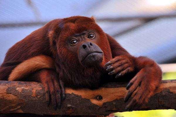 Рыжий, или красный ревун (Alouatta seniculus), фото приматы фотография