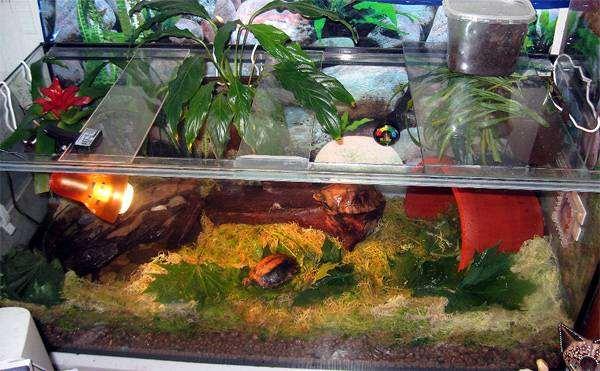 Лесная черепаха (Clemmys insculpta) в земноводном террариуме, фото обустройство террариума для рептилий фотография