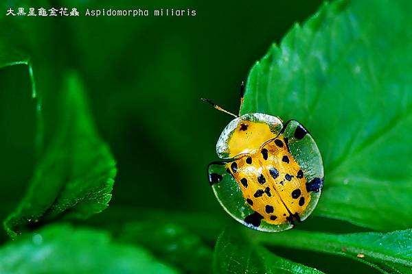 Жук-черепаха (Aspidomorpha miliaris), фото картинка насекомые