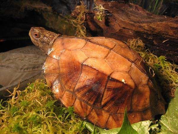 Вьетнамская килевая черепаха (Pyxidea mouhotii), фото пресноводные черепахи фотография рептилии