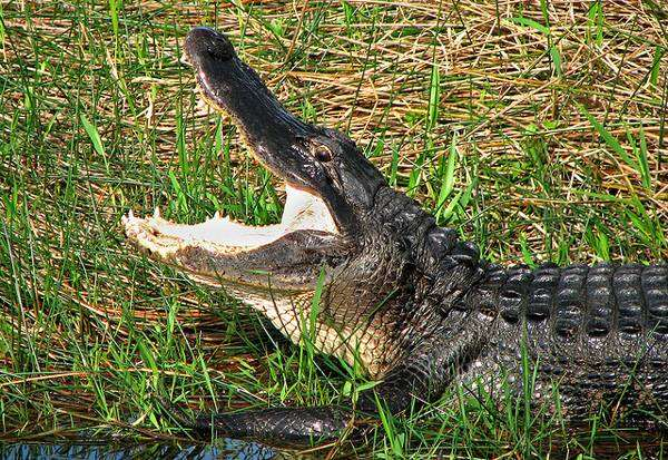 Аллигатор, фото пресмыкающиеся картинка