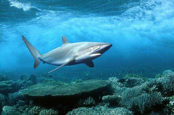 Серая акула (Glyphis glyphis), фото рыбы фотография