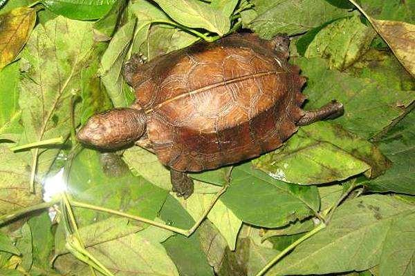 Вьетнамская килевая черепаха (Pyxidea mouhotii), фото вопросы о черепахах фотография