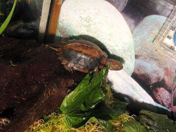 Вьетнамская килевая черепаха (Pyxidea mouhotii), фото консультации о черепахах фотография