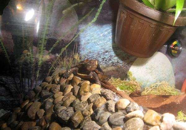 Вьетнамская килевая черепаха (Pyxidea mouhotii), фотография вопросы про черепах фото