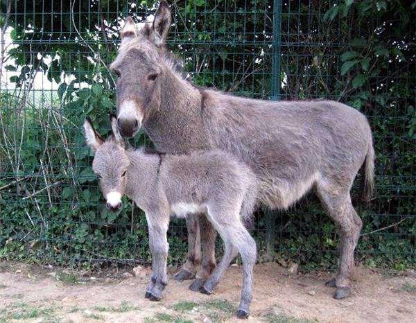 Ослица и осленок, фото лошадиные картинка