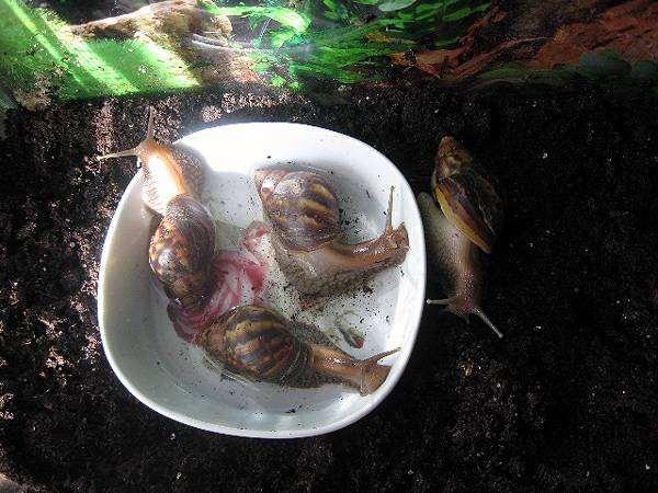 Ахатина фулика (Achatina fulica), фото вопросы об улитках фотография