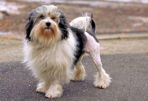 Лион-бишон, или львиная собачка, фото собаки картинка