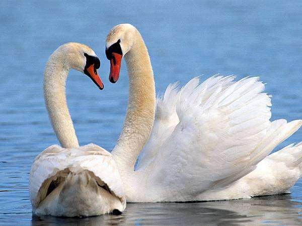 Лебеди, птицы фото фотография