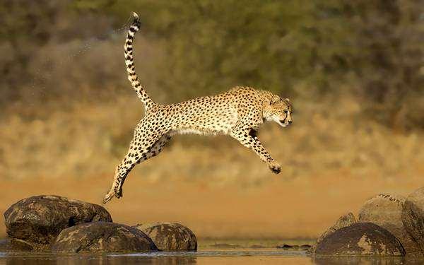 Гепард (Acinonyx jubatus), фото хищные животные фотография